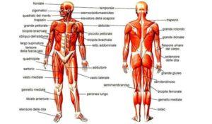 esplorando-il-corpo-umano-i-muscoli
